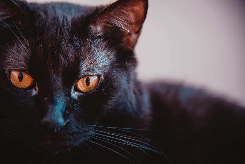 superstitious black cat